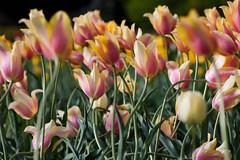 tilt shift tulips (derniers) Tags: shift tulip tilt tse90