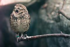 [フリー画像] 動物, 鳥類, フクロウ科, フクロウ, 口を開ける, アナホリフクロウ, 201005040700