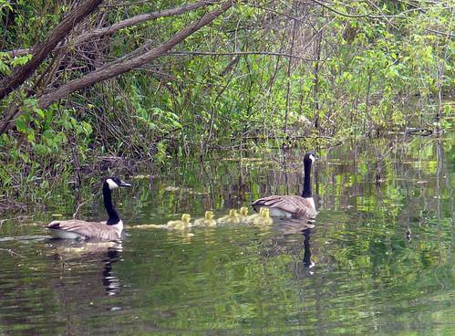 2010-05-01 - Geese & Goslings - 0054 [flickr - cropped]