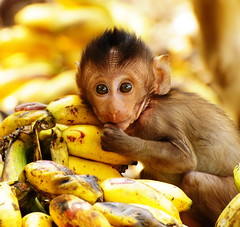 ,,,,,,,,,,,,,,,,,,,,Banana Baby,,,,,,,,,,,,,,,,,,,, (Jon in Thailand) Tags: baby yellow thailand monkey nikon banana nikkor d300 70300vr highqualityanimals