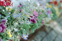 (Nam2@7676) Tags: flowers film japan dof pentax bokeh scan vista  epson 100 agfa lx nam2 77mm silverfast kmount 7676 v750 fa77 smcpfa77mmf18 justpentax gtx970 smcfa77mm118limited yasunarinakamura  nam27676