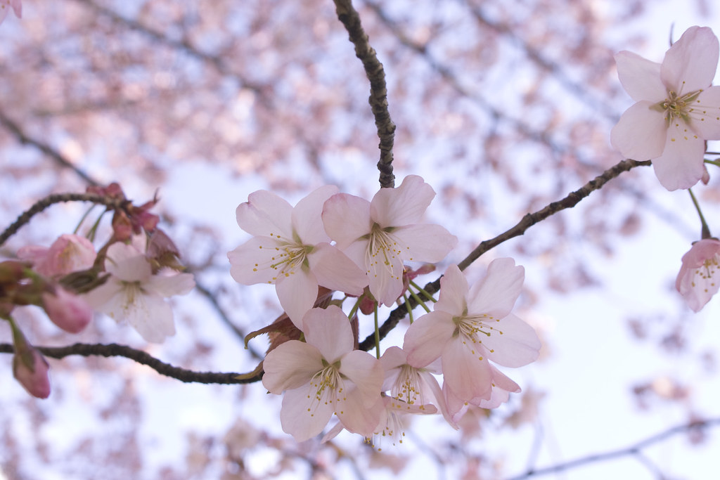 cherry blossom day.