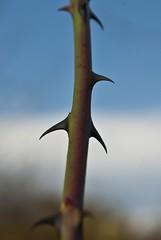 (blowupnewyork) Tags: life light love rose stem soft branch below mad thorn wound something shard scar onto avoiding blowupnewyork