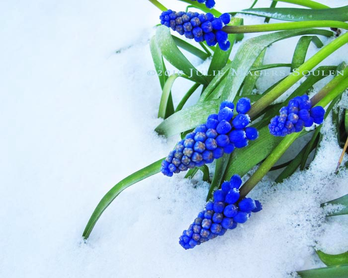 Deep royal blue grape hyacinths bend low under the weight of a fresh spring snow in the Colorado Rockies.