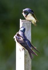 Barn Swallows (Tachycineta bicolor) (Tom in Tacoma) Tags: bird birds canon sensational swallow birdwatcher treeswallow canon40d