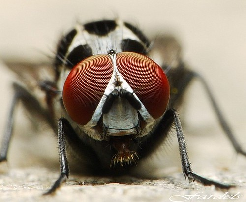 OJO ROJO 2 - CLOSE UP FLY - RED EYES