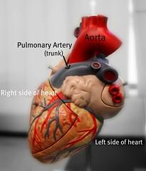 Matters of the heart (cookiepuss76) Tags: heart veins aorta cardiac coronaryartery heartdiagram pulmonarytrunk pulonary pulonaryartery