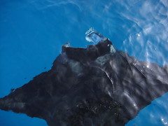 Manta Big Island Hawaii