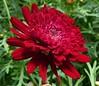 JUST RED . (picolojojo) Tags: flowers flower nature fleur fleurs abigfave anawesomeshot sognidreams paololivornosfriends