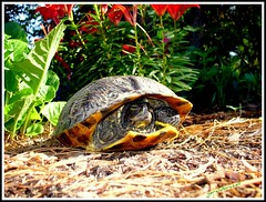Turtle in Need of Direction (geraldbrazell) Tags: lost pond turtle shy mywinners