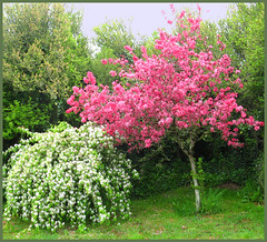 Blossom ! (grannysnapper1) Tags: pink flowers trees sky white tree nature grass leaves blossom branches hedge shrub