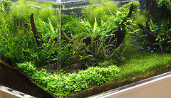 3 ukaps tank 2 (George Farmer) Tags: plants fish water aquarium aquascape tropica aquascaping tgm georgefarmer ukaps interzoo