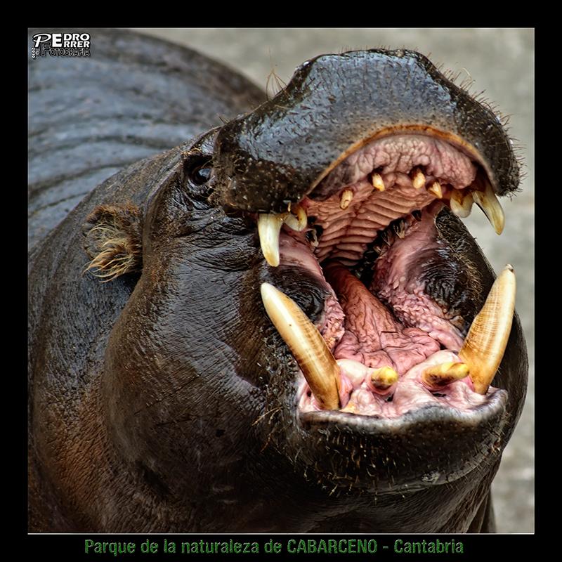 Cabárceno - Hipopótamo enano - un bellezón