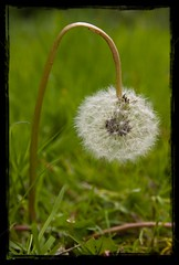 Depressed dandelion (Johan Verrips) Tags: flower nature dandelion depressed masked paardenbloem imagemagick