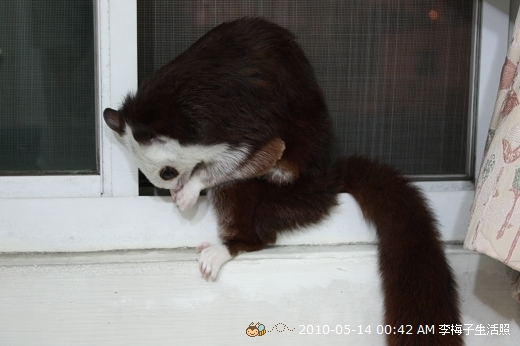 我家可愛小飛鼠生活照