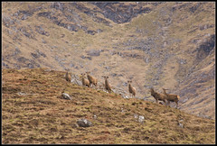 Watching over you (spodzone) Tags: scotland argyll watching deer caution mountainside reddeer stags glenure