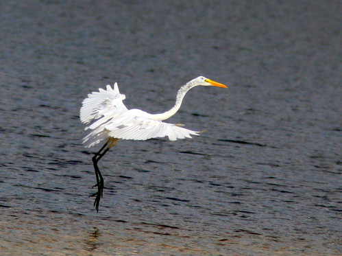 Great Egret 20100524