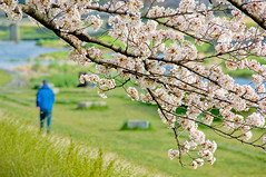 a walk under the cherry trees (philippe*) Tags: city urban japan nikon kyoto d2x