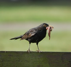 Oh what a mouthful (dave millers photos) Tags: birds garden british blackbird mouthful my