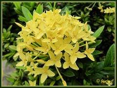 Ixora coccinea 'Dwarf Yellow' (Jungle Flame/Geranium, Flame of the Woods, Needle Flower) at the Good Shepherd Catholic Seminary, Malacca