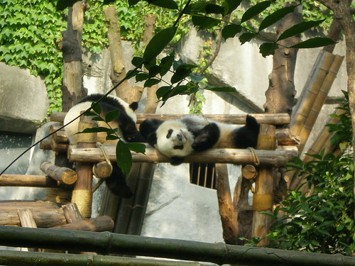 Sleepy pandas! Adorable!