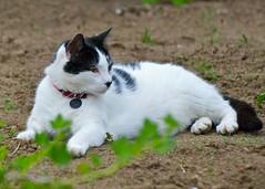 garden cat (wplynn) Tags: animal cat feline raw kitty indiana newharmony