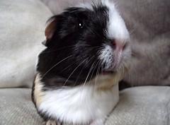 (saysie) Tags: portrait pet cute animal pose guinea pig cavy cutie louise sweetie