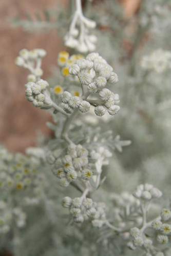 Dusty Miller About to Pop