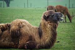 Wet Rasta Camel