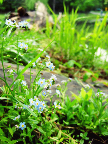 forget-me-not @capon