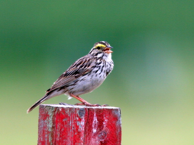 Savannah Sparrow 20100605