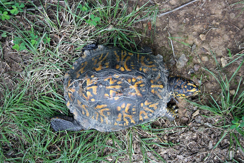 A top view of the same turtle, showing the darker yellow pattern on the top of her head, clearly damaged scutes at the edge of her shell, especially in front, and one extend back leg, which is black and scaly and looks a little as if it is wearing ill-fitting trousers.