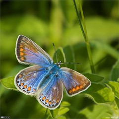 Female Common Blue (bbusschots) Tags: ireland butterfly 1001nights squarecrop jol commonblue kildare polyommatusicarus leixlip polyommatus dodgeburn flickraward buzznbugz thebestofday gnneniyisi alemdagqualityonlyclub