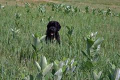 a025 milkweed