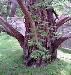 Dawn Redwood Tree at Fuller Gardens (Minkas Studio) Tags: tree grass leaves leaf lawn newhampshire nh bark shaggy northhampton dawnredwood fullergardens