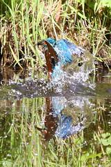 How to make a splash! (FlyingV99) Tags: bird water river suffolk fishing kingfisher british colourful waveney alcedo atthis