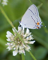 Gray Hairstreak (Dave W.) Tags: shenandoahnationalpark strymonmelinus grayhairstreak photographybydavewendelken photobydavew butterfliesinbigmeadows