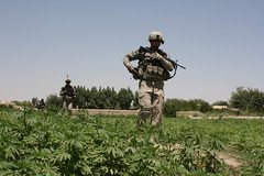 US troops patrol pot field in Dand, Kandahar (jeromestarkey) Tags: afghanistan field soldier us marijuana cannabis kandahar dand 10thmountain 171cavalry