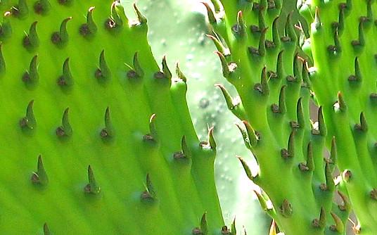 nopales - pear cactus