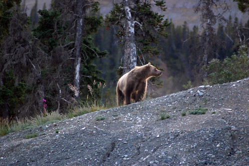 A mamma grizzly on the hunt for food in Alaska.