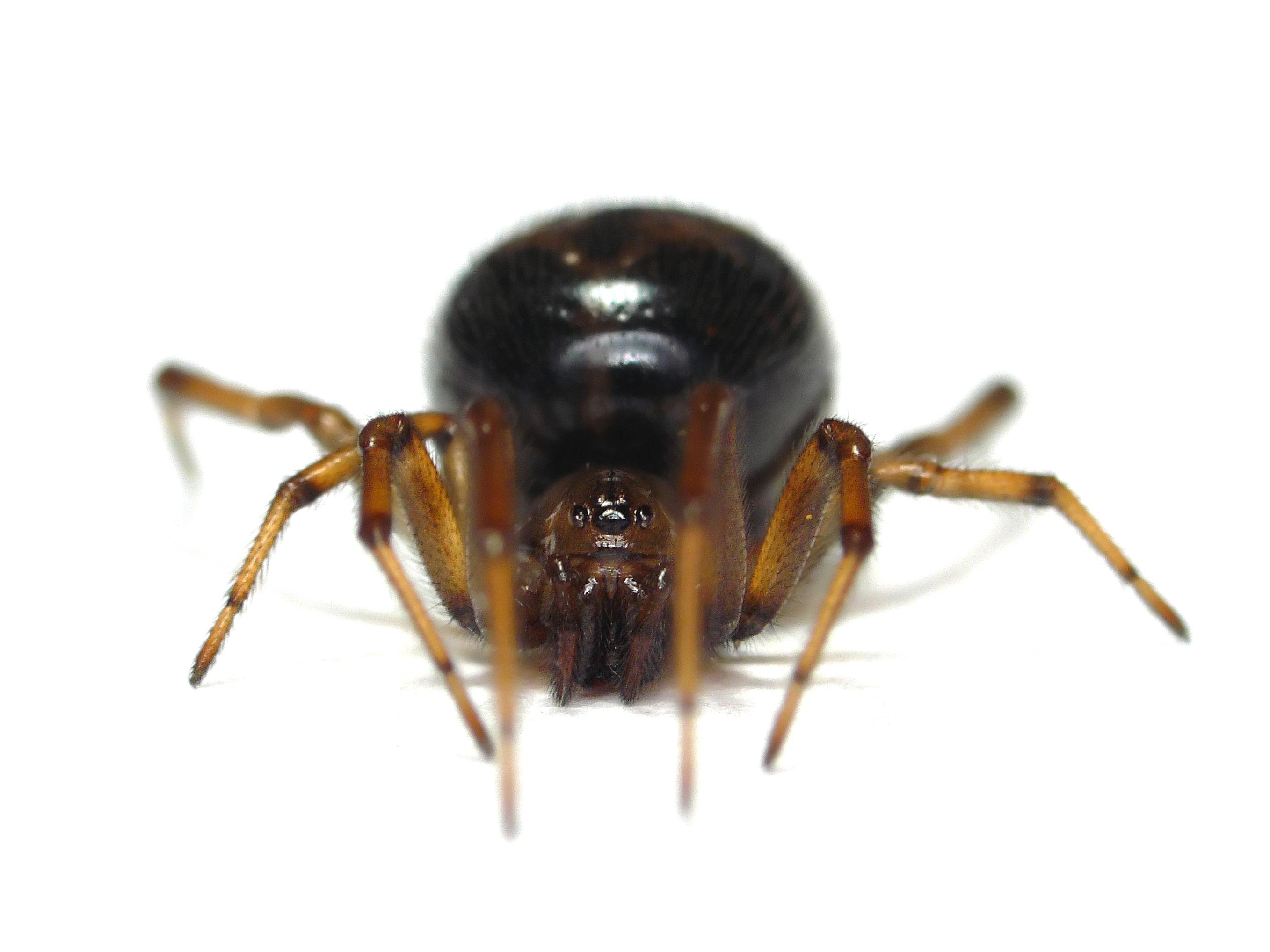 minnesota spiders cobweb spider steatoda borealis
