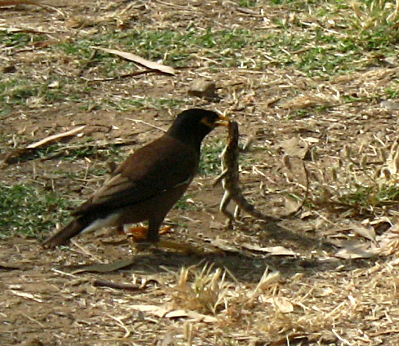 19-06-2010-mynah-eating-lizard2