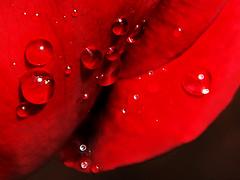 Rain pearls ~ (rotraud_71) Tags: macro drops vivid blueribbonwinner mywinners abigfave anawesomeshot goldstaraward vanagram updatecollection bestofmywinners
