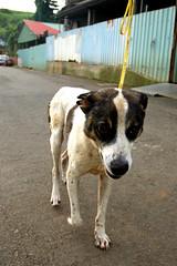 adoptableBill (Nick) Tags: dog male bill adoptable 4yrs  tuapa  d00259