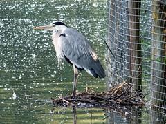 Heron (Mrs Airwolfhound) Tags: summer heron nature wildlife lakes sunny hertfordshire stanborough