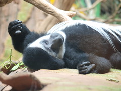 2010-06-20 Father's Day @ the Mn Zoo 362 (puckster55pics) Tags: bestshot blackandwhitecolobusmonkey tropicstrail 20100620fathersdaythemnzoo
