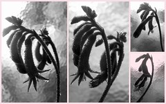 Anigozanthos (YAZMDG (15,000 images)) Tags: yaz yazmdg yazminamicheledegaye florafaunaofoz proteas geraldtonwax grevilleas dicksonia xanthorea callistemons black obscure obscuritee dark melancholic sombre lowlight shadowy noir ambient lacune absence gloomy florafauna nsw northernrivers ystudio leaves pods seeds bark moss lichen fungi bw nb noiretblanc obscurite obscur blackandwhite lightdark flora floraofoz flowers wildandnativeflora indigenousflora banksia protea kangaroopaw cllistemon leucodendrums xanthorrhea faunaofaustralia lacunae blackout sepia tint melancholie y studio
