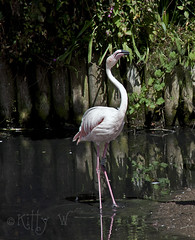 Chilean Flamingo (Kitty W) Tags: chile bird water flamingo waterbird jersey channelislands chileanflamingo durrellwildlifeconservationtrust