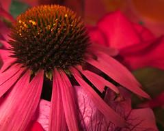 Echinacea (prima seadiva) Tags: echinacea botanicals