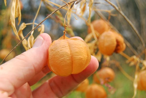 The Orange Pumpkin Lampshade Plant's Fruit